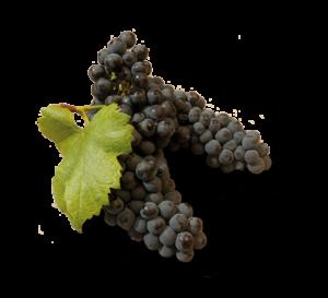 Cagnulari grape